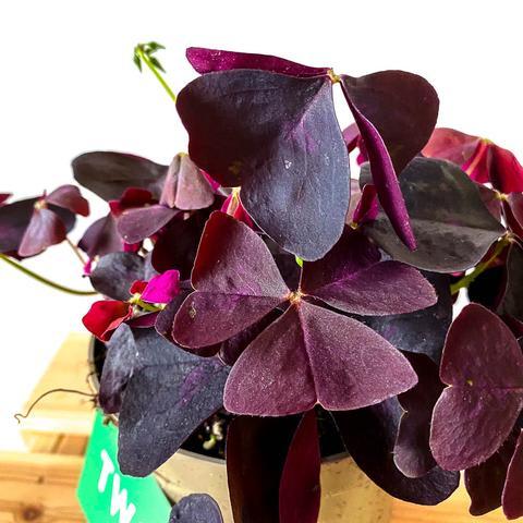 Oxalis 'purple'