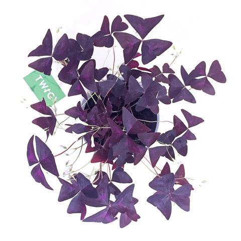 Plant - Oxalis