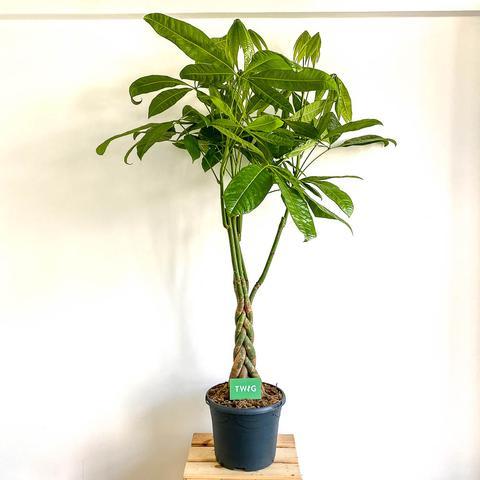 Plant - Pachira Aquatica