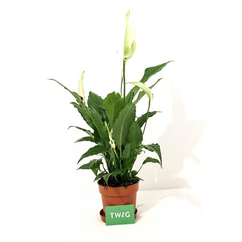 Plant - Peace Lily