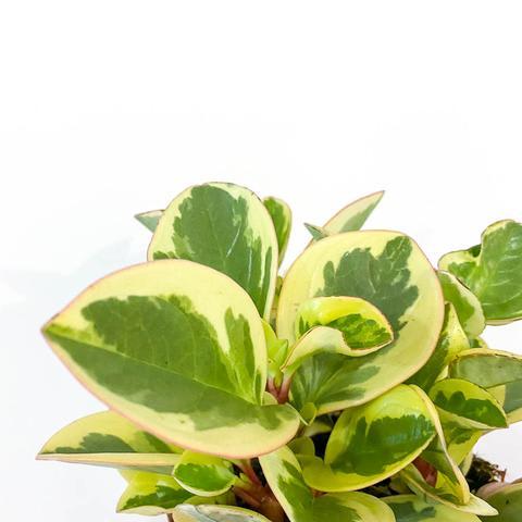 Peperomia Obtusifolia 'Obtipan'