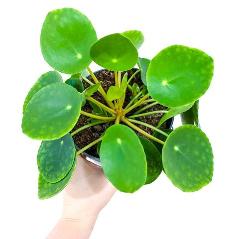 Plant - Chinese Money Plant