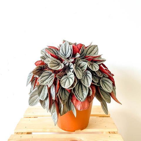 Plant - Peperomia 'Sunrise'