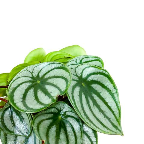 Plant - Peperomia Watermelon