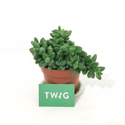 Plant - Pickle Plant