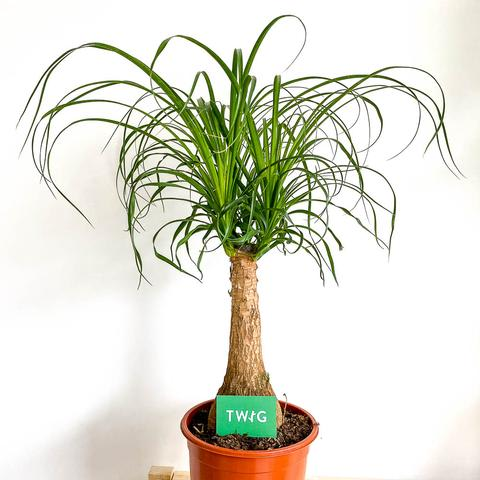 Plant - Ponytail Palm