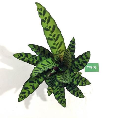 Plant - Rattlesnake Plant
