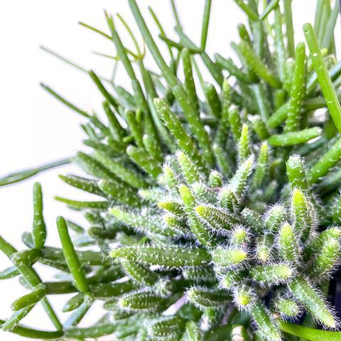 Plant - Rhipsalis cereuscula