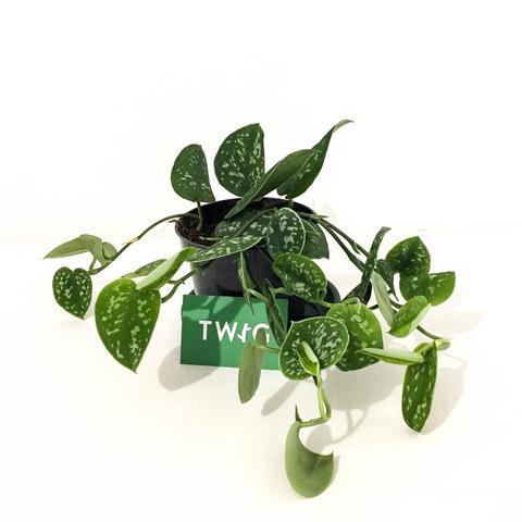 Plant - Satin Pothos