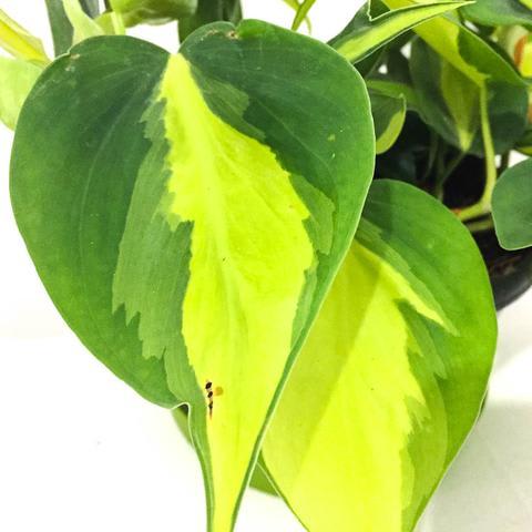 Plant - Philodendron Scandens 'Brasil'