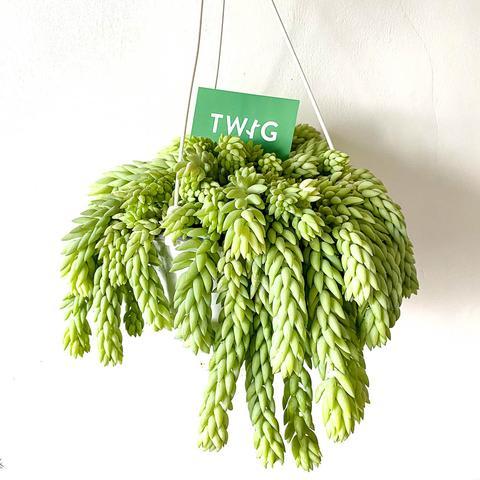 Plant - Sedum Morganianum