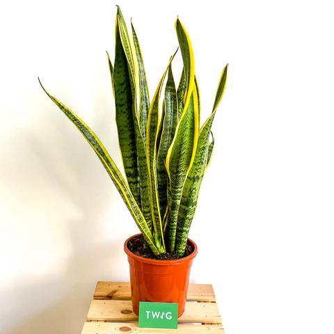 Plant - Snake plant