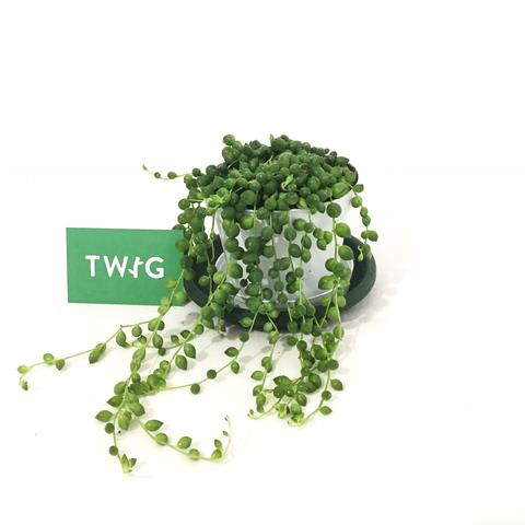 Plant - String of Pearls