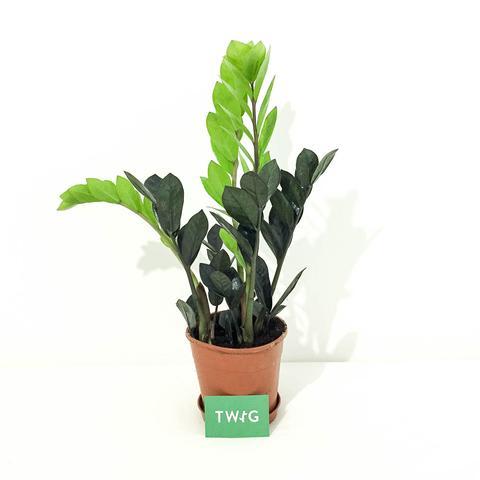 Plant - ZZ 'Raven'