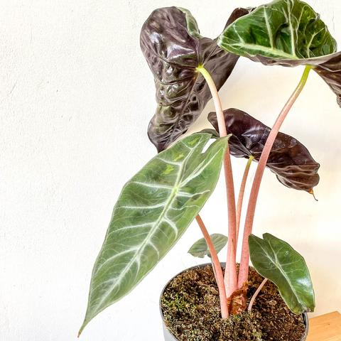 Plant - Alocasia 'Pink Dragon'