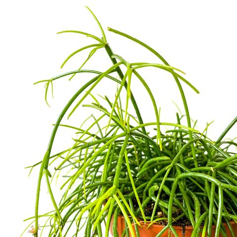 Plant - Rhipsalis Baccifera