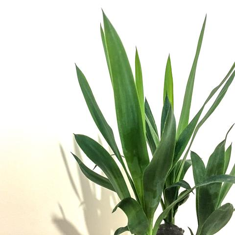 Plant - Yucca