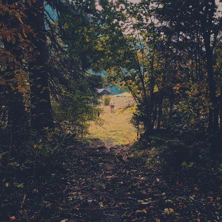 Photo prise depuis la forêt. La lumière est sombre. Au centre de l'image, un sentier mène vers un pâturage. Eclairé par le soleil, au vache nous regarde au bout de ce sentier.