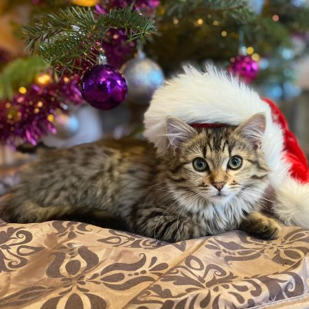 A three month old cat under the Christmas tree. She is wearing a Christmas hat.
