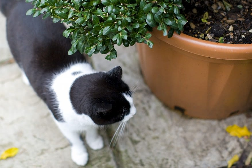 Mittens the cat circles a potted buxus