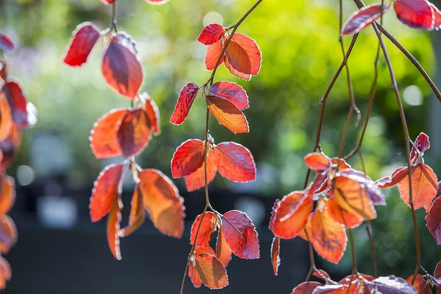 Sun through the auburn leaves of a beech tree