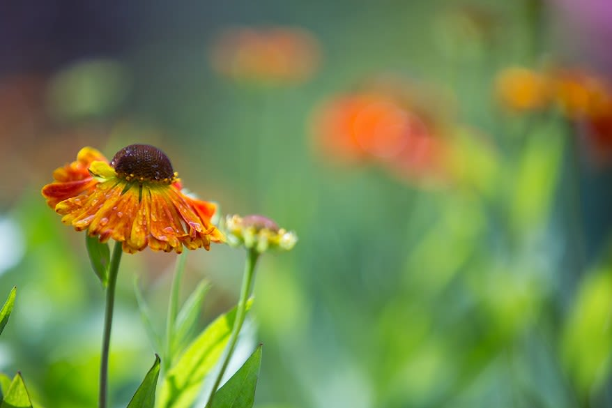 Close-up of a single helenium
