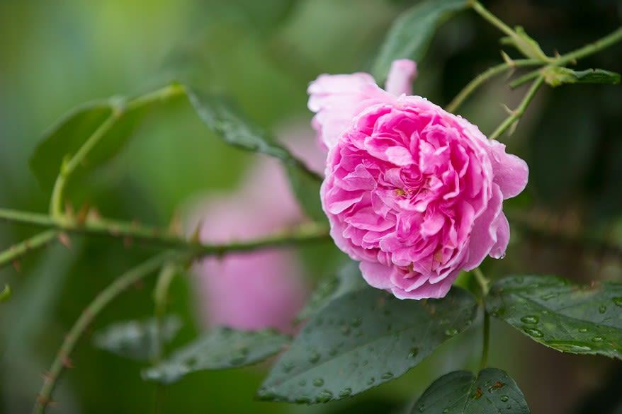 David Austin rose pink