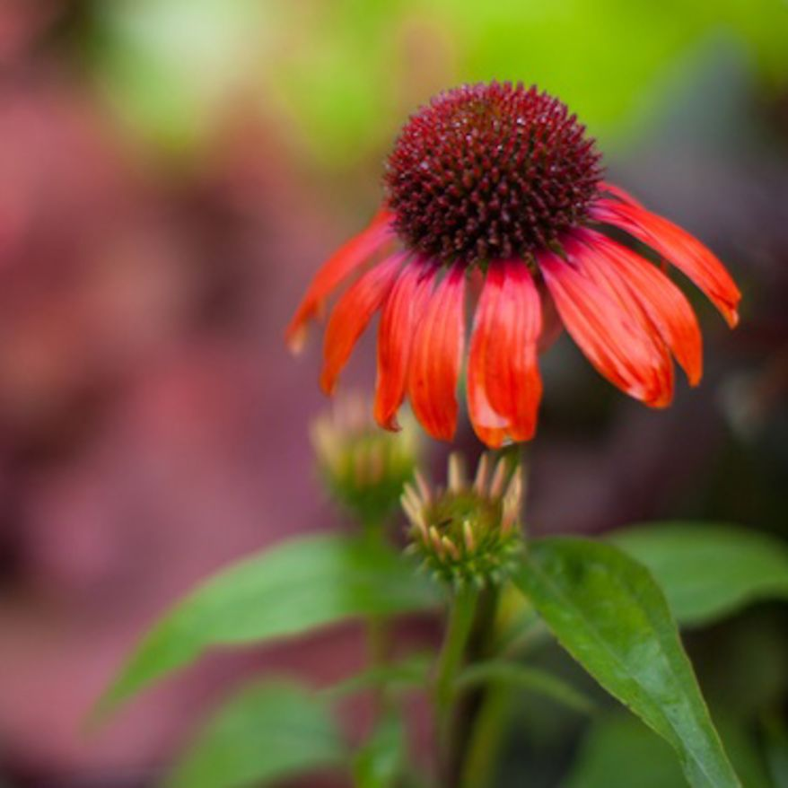 Close-up of an orange echinacea flower