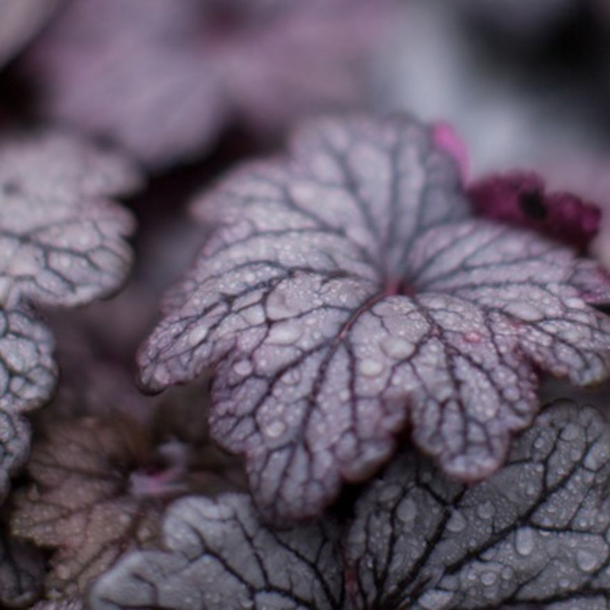 Close-up of a dark leaved heuchera with dew