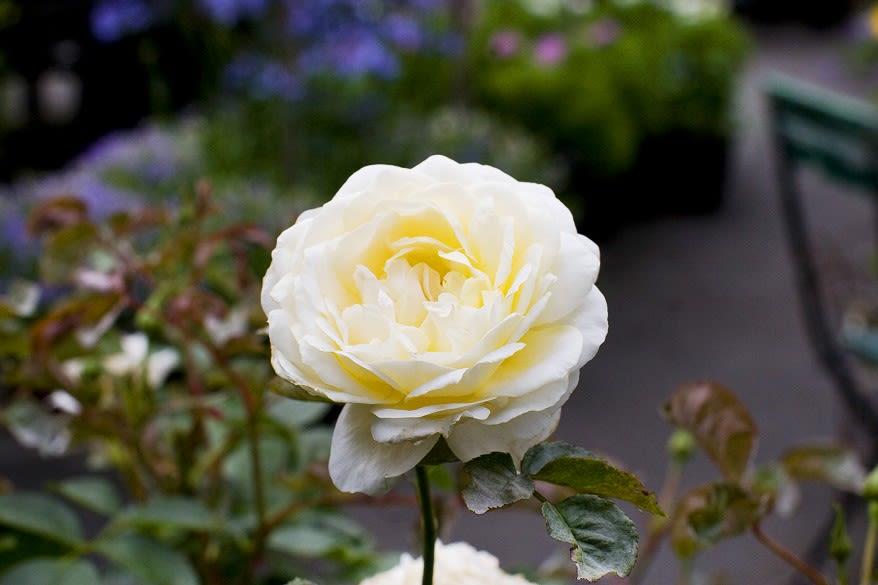 David Austin rose yellow