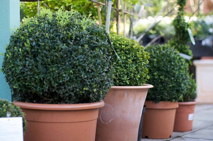 Round buxus in a line in pots