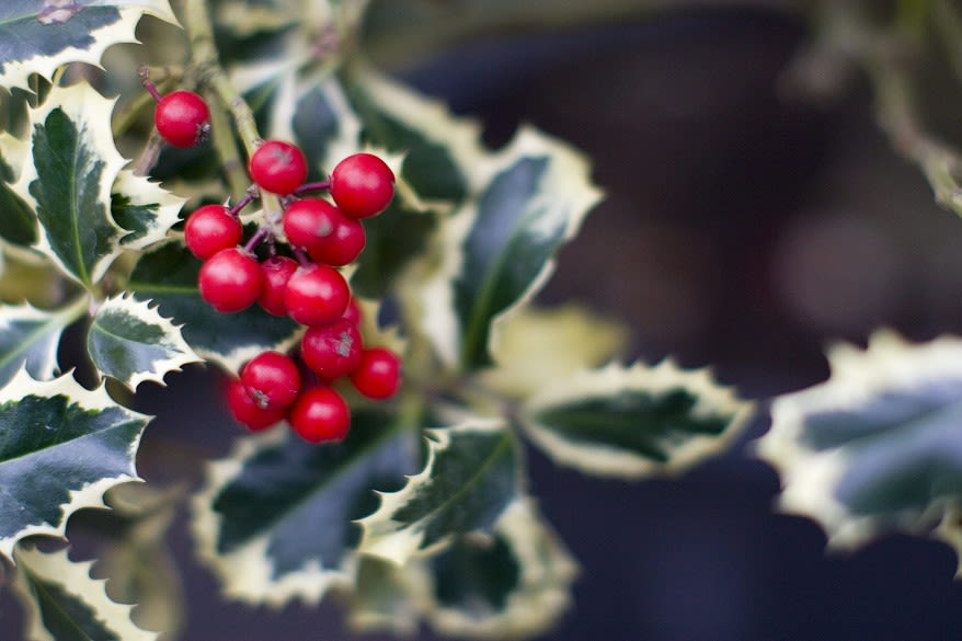 Close-up of berried holly