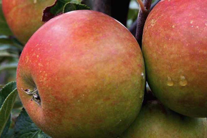 Large ripe orange pippin apples