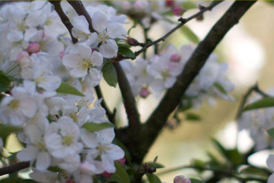 White pink blossom on full bloom