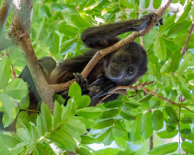 tamarindo-baby-howler-monkey
