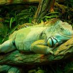 Iguana-Green