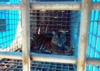 Seekor Harimau Sumatera dalam perangkap besi (ANTARA/HO)