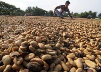 ILUSTRASI. Pekerja menjemur biji kopi Arabika gayo hasil musim panen akhir tahun 2019 di lapangan desa, Bandar Baro, Aceh Utara, Aceh, Kamis (19/12/2019). Produksi kopi arabika komoditi unggulan asal Dataran Tinggi Gayo (DTG) yakni Kabupaten Aceh Tengah, Bener Meria