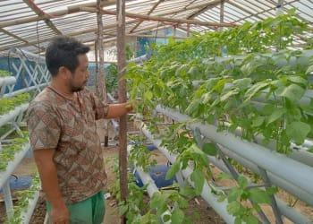 Iwan Damanik sedang mengamati tanaman bayam miliknya yang dibudidayakan secara Hidroponik.(foto : HTP)