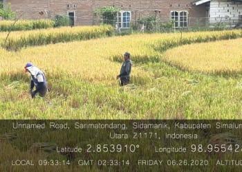 26 Juni 2020 : Panen padi tanpa mempergunakan Insektisida dan Fungisida sama sekali.(fofo :Ist)