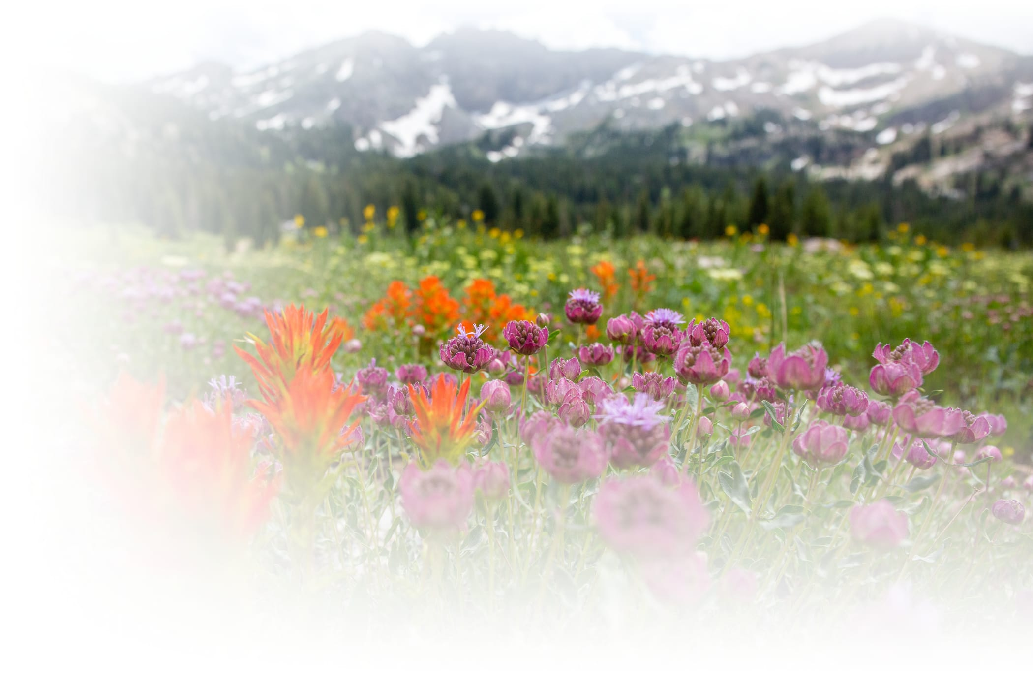 Wildflowers on a sunny summer day in the Albion Basin of Alta Ski Area