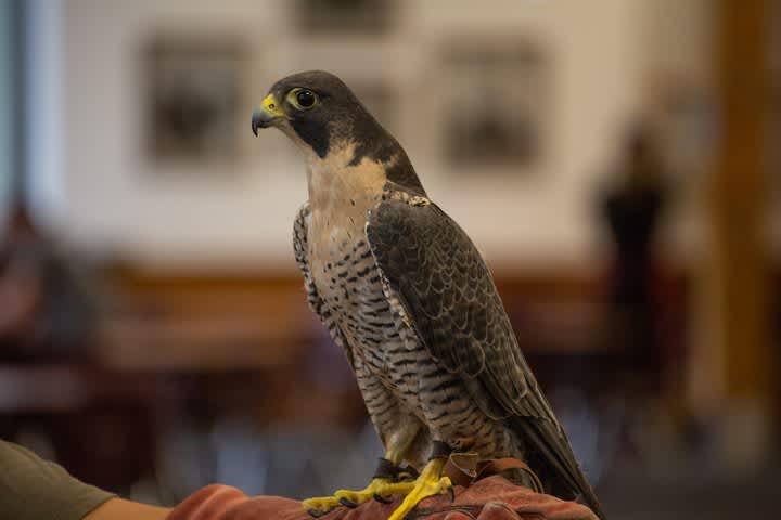 HawkWatch and Live Bird Show