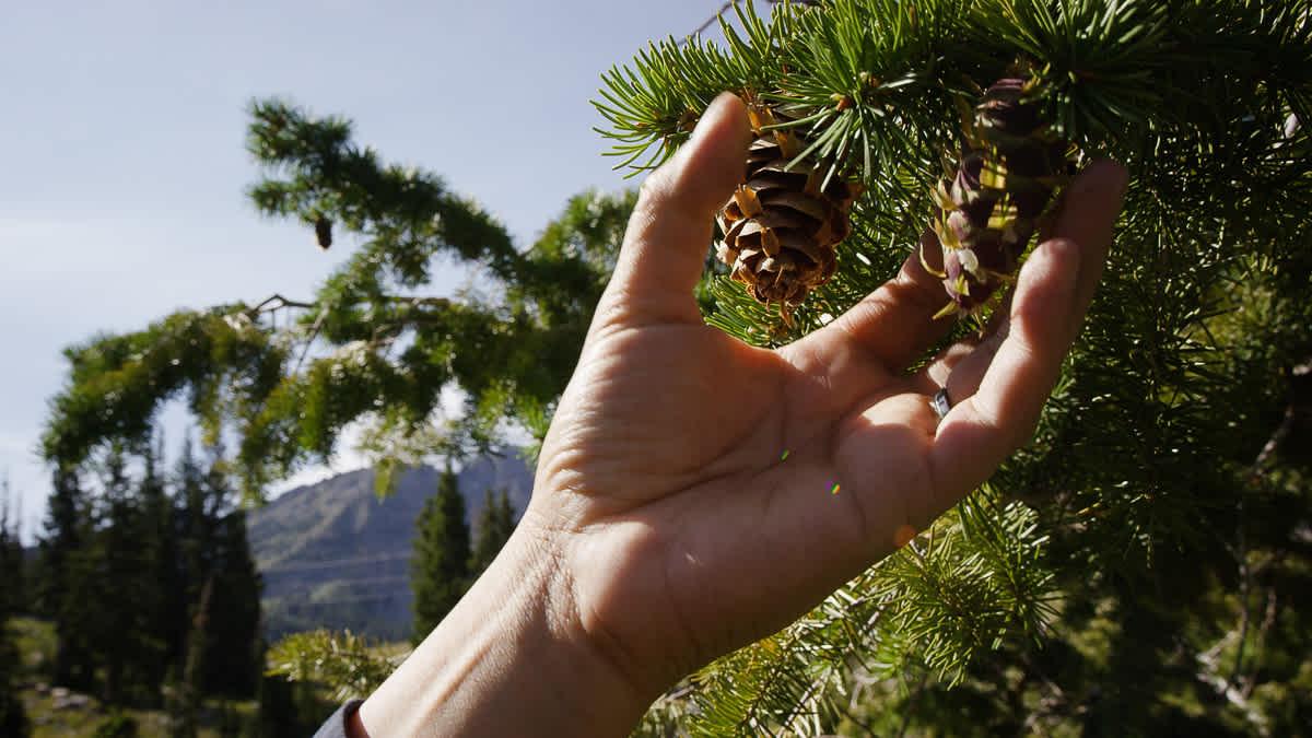 Tree Harvesting at Alta