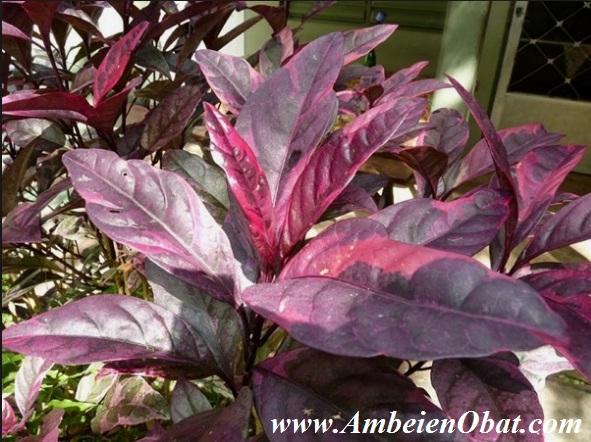 Obat Ambeien atau wasir daun ungu