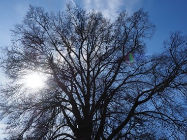 Blog Thumbnail - World's Oldest Elm Tree