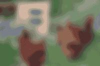 Le poules de la Ferme de Samson Saint péray cabane à la ferme