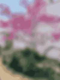 Arbre rose - fleurs roses - Maison Les Petits Pois Sont Rouges - Vendée - Sion sur l'océan