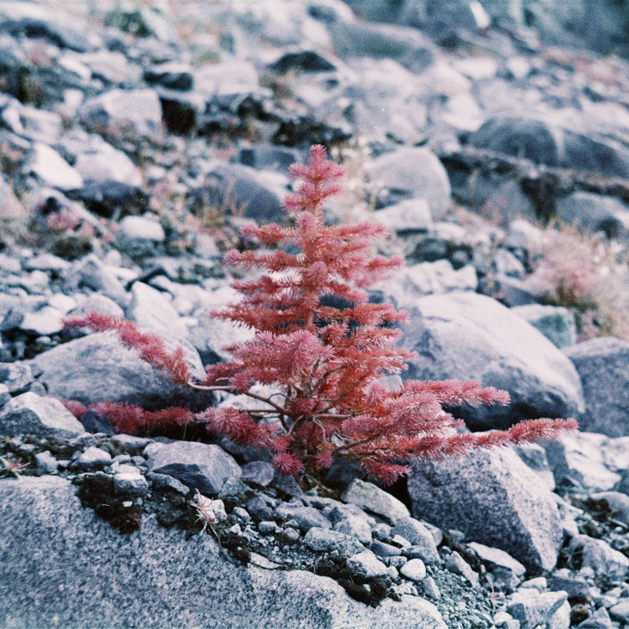 A shallow DOF photo, taken with Kodak Aerochrome at 𝒇2.8 with Vitessa A and an 85 C mild warming filter. As you can see here, the focus in the infrared channel isn't that much different or offset from the visible light.