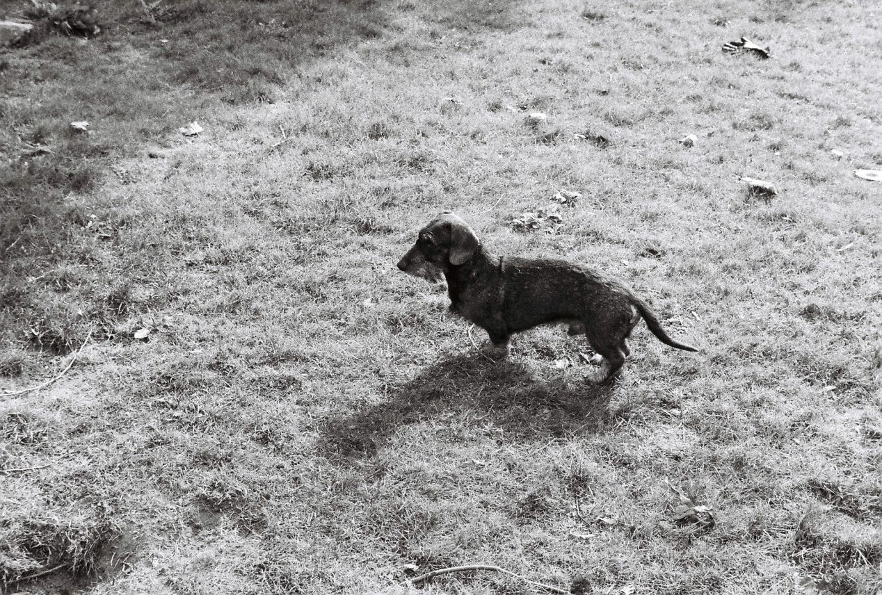 A photo of a brown dog on green grass, taken on black and white film with a green lens filter.