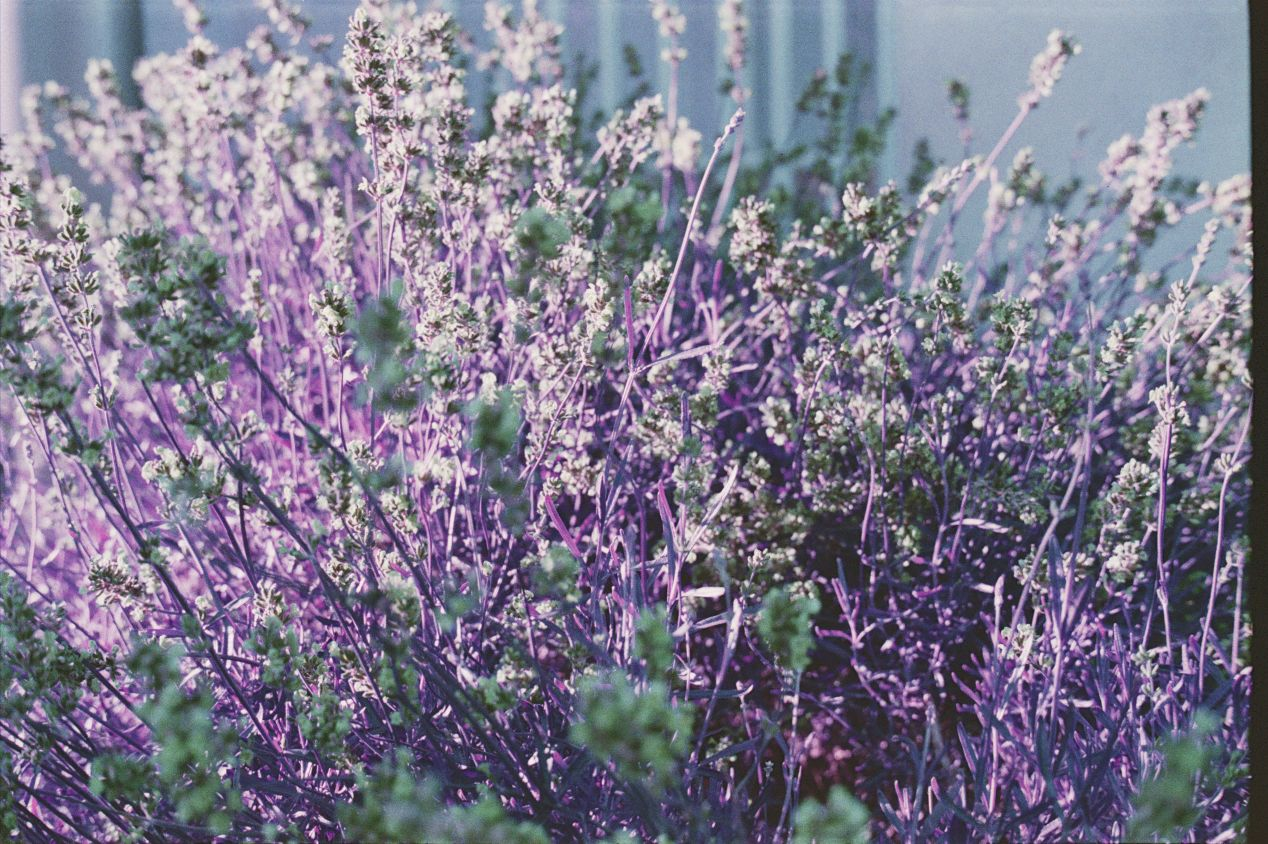 Lomochrome Purple makes purple lavender flowers appear green.